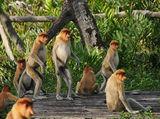 proboscis monkey ; comments:18