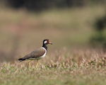 Red-wattled Lapwing (Vanellus indicus) ; comments:18