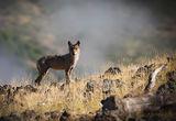 Класически портрет на вълчица ; comments:77