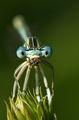 водно конче хапва паяк ; comments:20