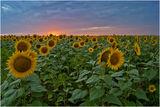 Залез над слънчогледа ; Comments:15