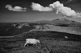 Бяло искърско говедо  с бял облак за баланс и вр. Триглав за фон...:) ; Comments:32