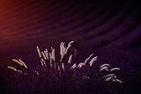 Lavender fields, Provence. ; comments:26