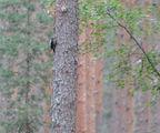 Трипръст кълвач. Най-редкият кълвач у нас, застрашен от изчезване, под 100 двойки у нас. ; comments:4