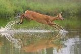 Roe Deer running ; Comments:68