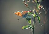 Пеперудено... ; comments:41