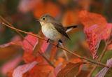 Червеногуша мухоловка - (Ficedula parva) ; comments:38