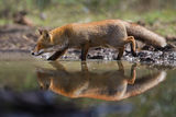 Fox reflecting in the water ; comments:84