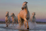 White stallions in Camargue ; comments:94
