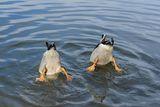 Синхронно плуване ; comments:4