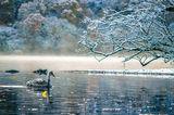 Млад лебед край заснежените брегове на Лох Нес ; comments:31