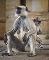 Monkey people from the temple of the Apes-Agra Fort ; comments:3