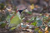 Зелен кълвач (Picus viridis), мъжки ; comments:16