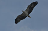 Белокорем морски орел ; comments:6