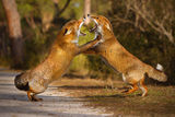 fighting foxes ; comments:68