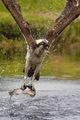 Osprey fishing ; Коментари:56