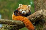 Red panda :) - Мече зверче ; comments:21