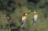 Обикновен пчелояд/Merops apiaster ; comments:8