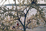 Ябълката край реката ; comments:31