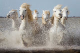 Horses in Camargue ; comments:43