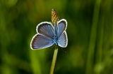 Пеперуда ; Comments:3