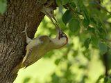 Мъжки зелен кълвач си храни потмоството :) ; comments:19