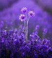violet ; comments:23