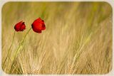 Dancing poppies ; comments:7