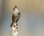 Swamp Sparrow ; comments:20