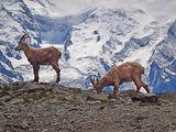 Aiguilles Rouges Goats ; Comments:32