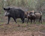 - Свиньета - ; Comments:15