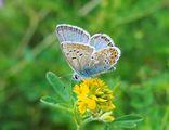 Пеперуда ; Comments:42