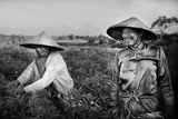 Фермери на рози в полетата край Убуд, Индонезия ; Коментари:18