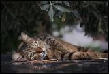 Котка под маслина ; Comments:9
