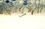 Ларви на комар ; comments:22