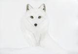 Polar fox ; comments:13