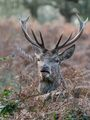 Red Deer ; comments:9
