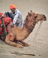 Камилар-голямата Индийска пустиня Тар ; comments:37