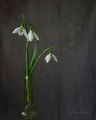 Galanthus ; comments:27