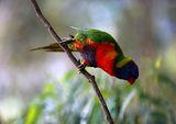 Rainbow Lorikeet ; Comments:14