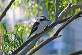 Laughing Kookaburra ; Comments:7