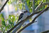 Laughing Kookaburra ; Comments:7