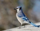Blue Jay ; comments:15