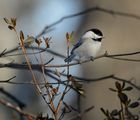 Chickadee ; comments:22
