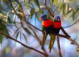 Rainbow Lorikeet ; comments:18