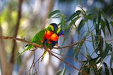 Rainbow Lorikeet ; Comments:15