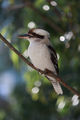 Laughing Kookaburra ; Comments:6