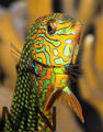 leopard wrasse ; Comments:6