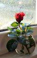 Дъжд, Слънце и една червена роза ; comments:13