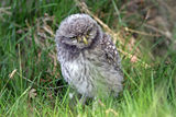 Baby Owl ; comments:11